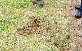 460   ontlasting vos met stukjes bot en geur