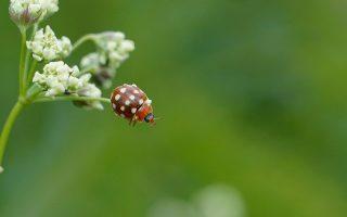boshyacint met lieveheersbeestje