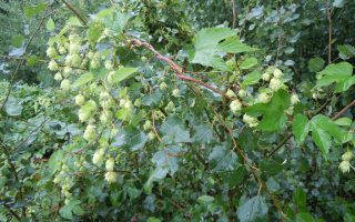 groene woud hop wandeling 4119